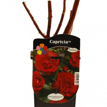 Rosal capricia