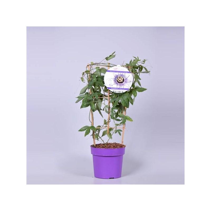 Passiflora damsel's delight