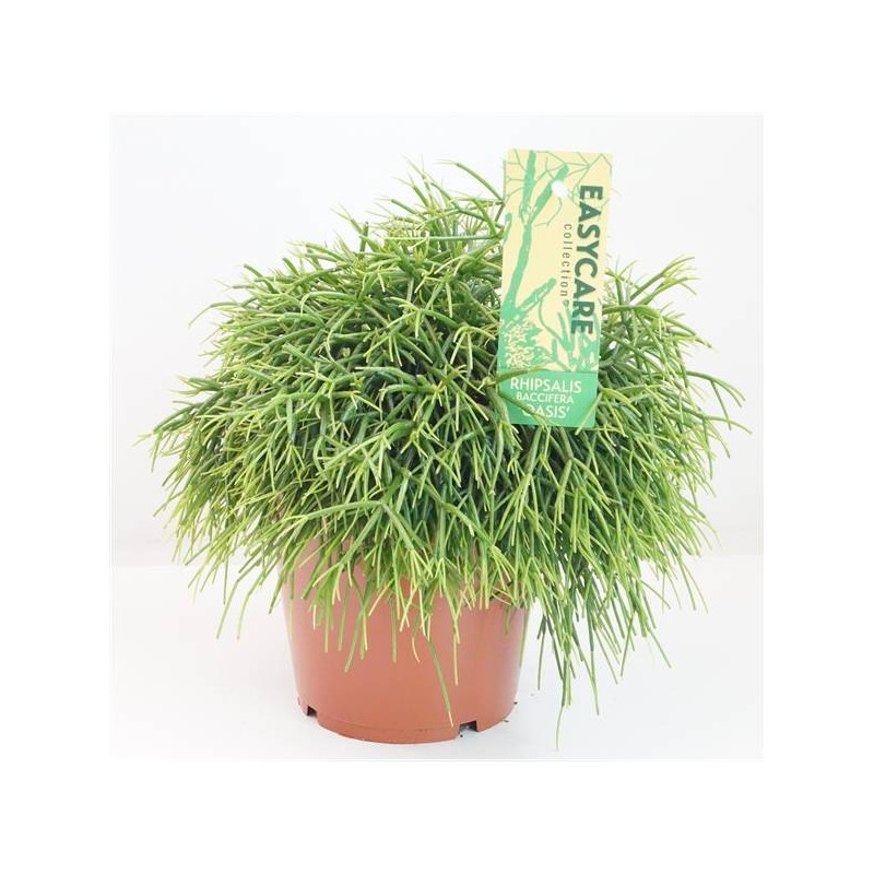 Cactus rhipsalis baccifera oasis
