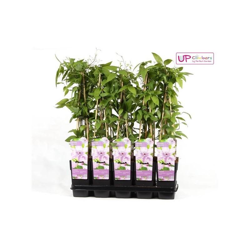 Clematides hagley hybrido