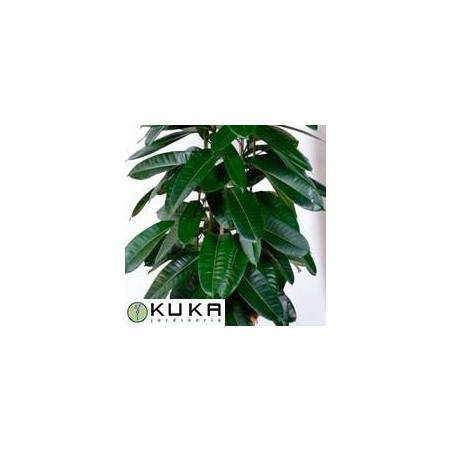 Ficus americana  guianensis