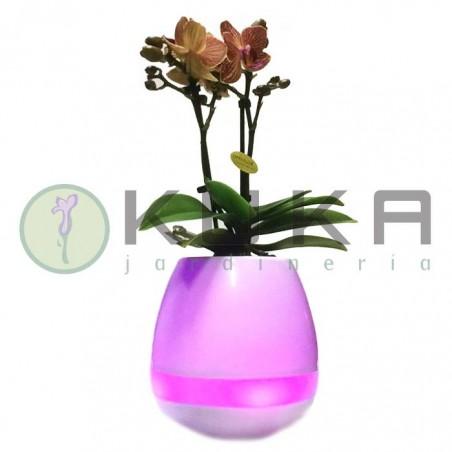 Orquidea musical
