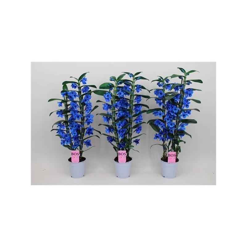 Orquidea dendrobium nobile royal purpure