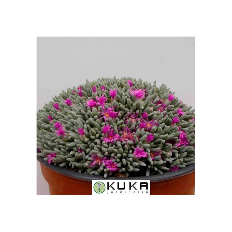 Cactus delosperma sphalmanthoides