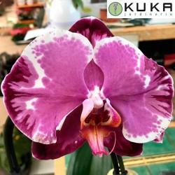 Orquidea phalaenopsis sacrafice
