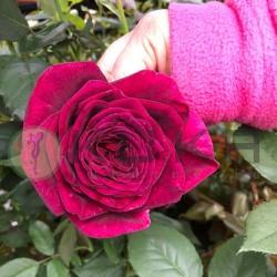 Rosal black perfumela