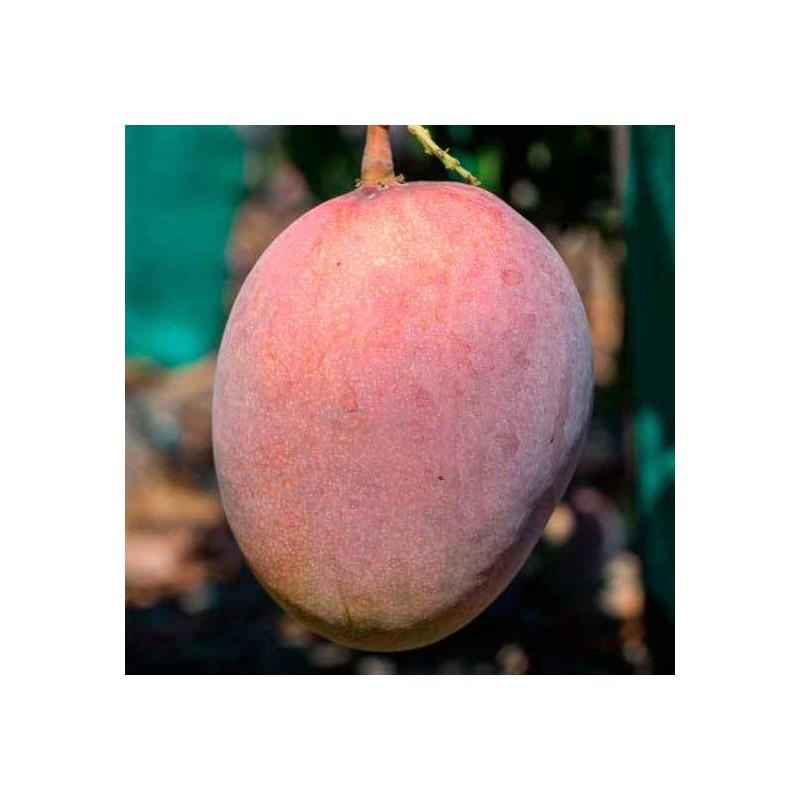 Mango kent, patrón Gomera-3