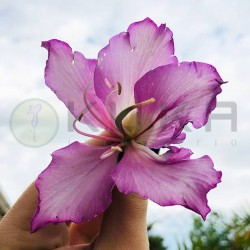 Bauhinia purpura