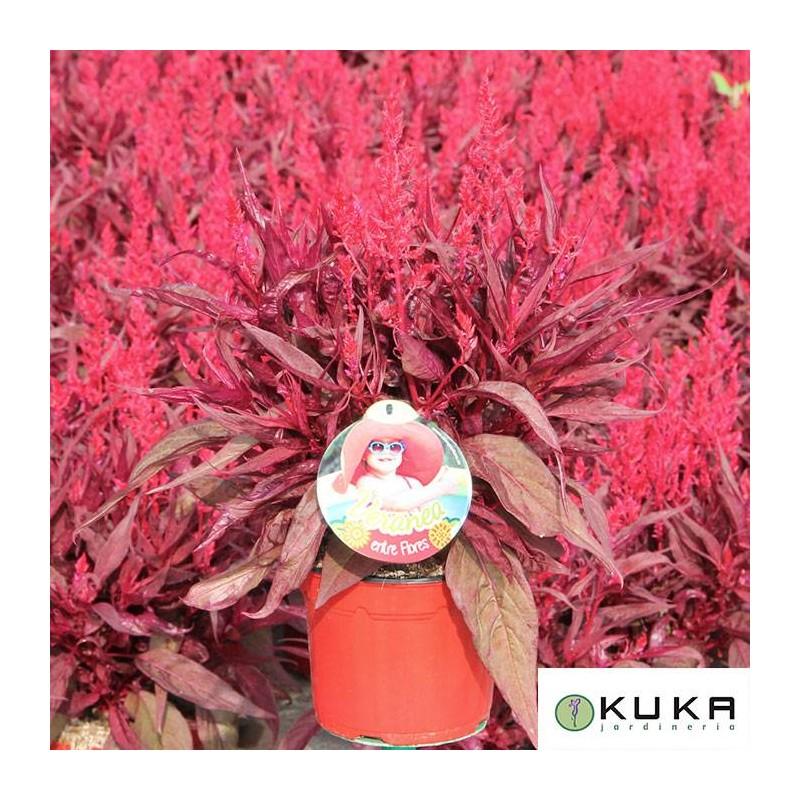 Celosia fuego
