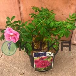 Rosal rugosa roseraie de l'haye