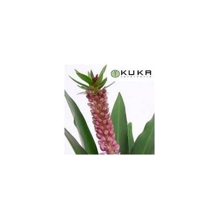 Eucomis aloha
