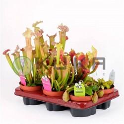 Planta canivora