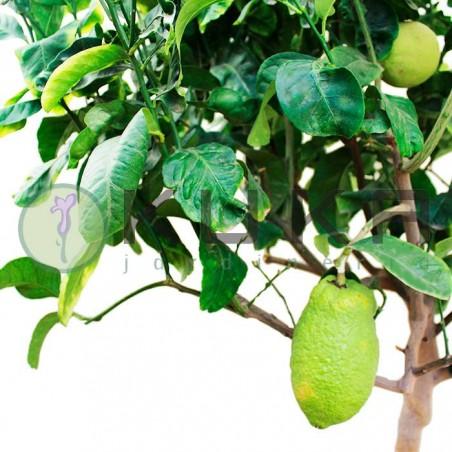Citrus medica cidro