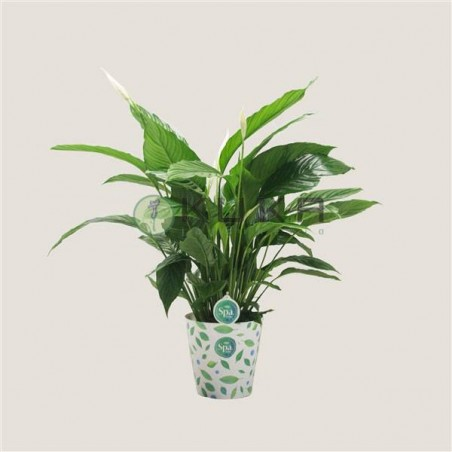 Spathiphyllum bingo cupido
