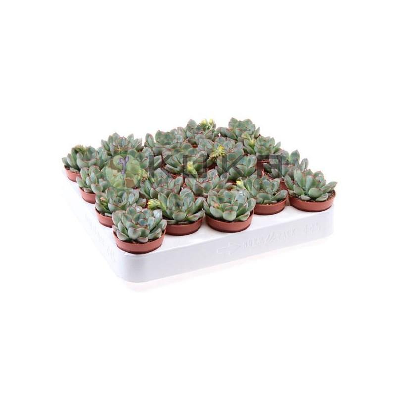 Cactus echeveria pelucida