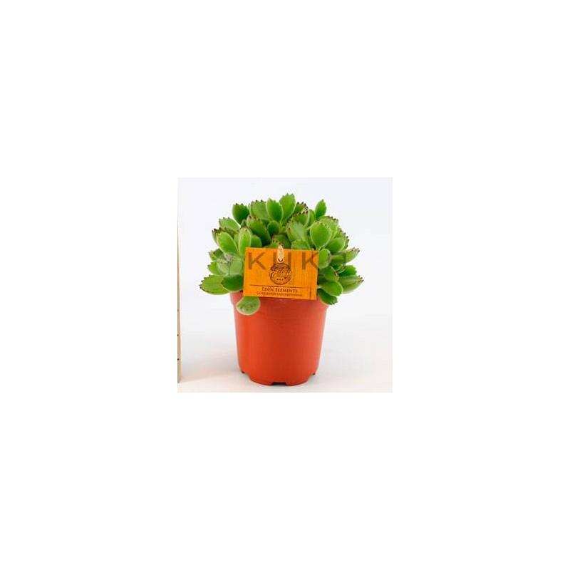 Cactus cotyledon tomentosum