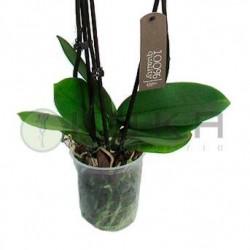 Orquídea phalaenopsis sin...