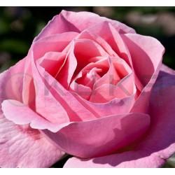 Rosal queen elizabeth raíz...