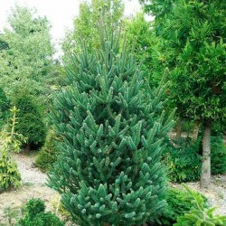 Picea abies fastigiata