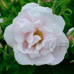 Rosal rugosa white perfection
