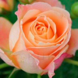 Rosal dolce vita