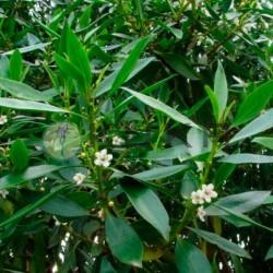 Myoporum-Antocherchis