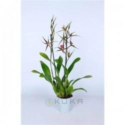 Orquídea brassia summer dream