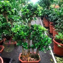 Ficus ginseng bosque...