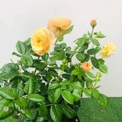 Rosal comestible eveline wild
