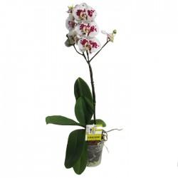 Orquidea phalaenopsis lio