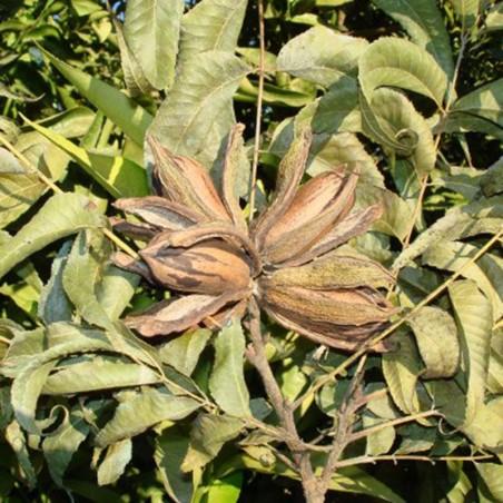 Pecano wichita