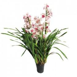 Orquídea cymbidium sin flor...