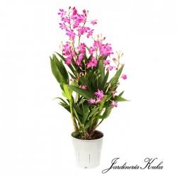Orquidea dendrobium berry oda
