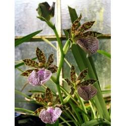 Orquidea zygopetalum