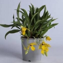 Orquidea Promenaea
