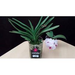 Orquidea vanda sin flor