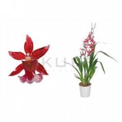 Orquídea burrageara barrocco red