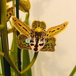 Orquídea cymbidium Cuba libre