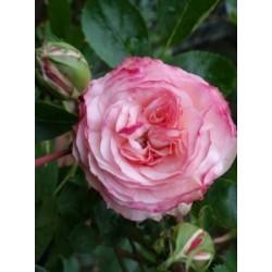 Rosal trepador mini eden