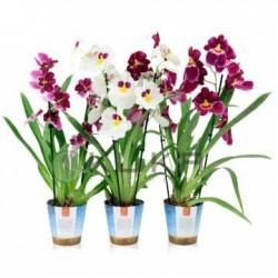 Orquídea miltoniopsis sin...
