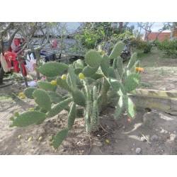 Cactus opuntia tuna juvenil
