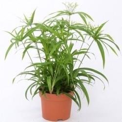 Cyperus papirus green gold