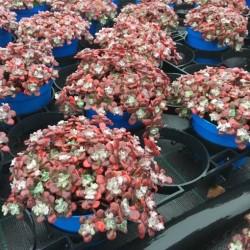 Sedum purpureum