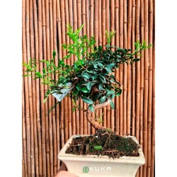 Pre-bonsai pistacia lentiscus
