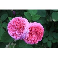 Rosal rugosa damascena