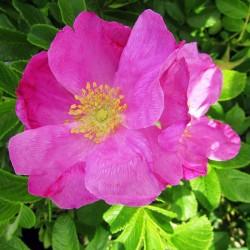 Rosal rugosa rubra