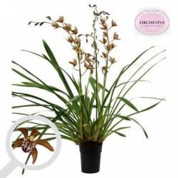 Orquídea cymbidium magic...