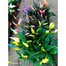 Spathiphyllum chopin tintados