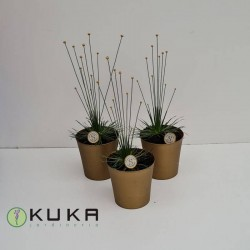 Syngonanthus mikado