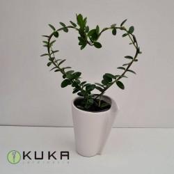 Hoya cumingiana amorosa